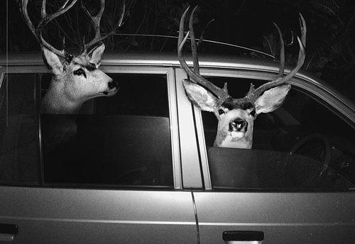 Two deer in a car
