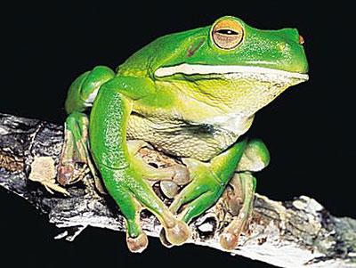 Coy Frog