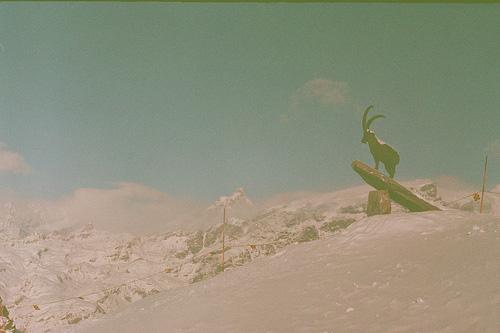 Alpine Steinbock