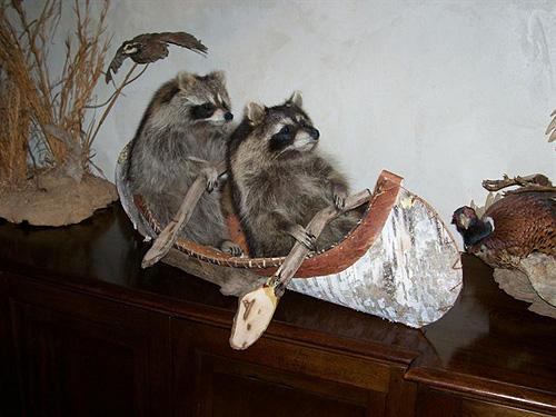 Raccoons in a canoe