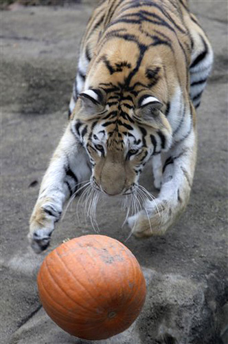 Tiger and Pumpkin